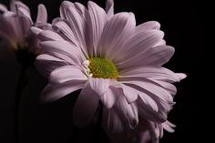 HQ Definition Wallpaper Desktop daisy backround, 2048x1369 (288 kB)