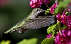 Anna's Hummingbird and Flowering Currant by Chris Picard on 500px