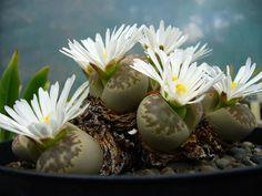 Литопс красивый - Lithops bella, литопс фото