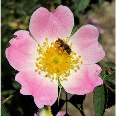 Rosa canina - Monte Maddalena - Brescia #montemaddalena #brescia #lombardia #rosacanina #rosasilvestre #dogrose #rosa #rose #flor #fiore #flower #spring #primavera #nature #naturaleza #natura #naturelovers #montaña #mountain #montagna #mountains #trekking #escursionismo #senderismo #hiking #travel #tourism #ape #bee #abeja by diegoghidini