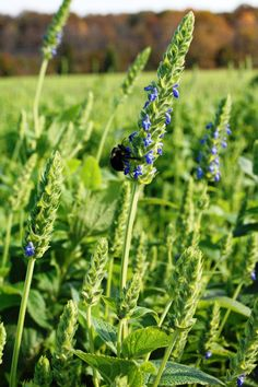 Chia Plant Seeds, An Ancient Superfood (Salvia hispanica) Organic, Untreated Seeds,Grow Your Own Chia ! Chia Seed Plant, Superfoods, Salvia Hispanica, Chia Benefits, Sources Of Fiber, Plant Pictures, Urban Farming, Grow Your Own, How To Increase Energy