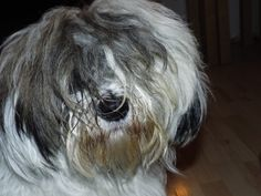 Tasha: Tibetan Terrier