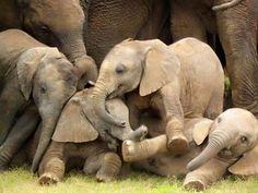 Too cute. Elephant pile up
