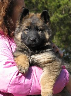 Long Coat Hair German Shepherd Puppy For Sale Rehoboth S Long
