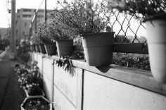 https://flic.kr/p/ACSM7E | 鉢植え (potted plant)