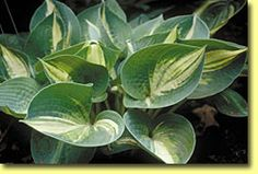 Hosta Lonesome Dove; photo courtesy of Shady Oaks Nursery