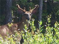 Velvet antlers on this whitetail deer.