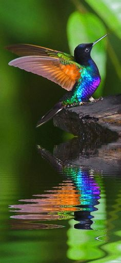 Humming bird reflection