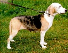 Dunker dogs are a breed of dog.  In the 19th century, the Norwegian Wilhelm Dunker bred this dog, which was named after him.             These dogs weigh 35 to 49 pounds, and 18 to 21 inches tall, and have a short, thick, and straight coat.         Next Dog Picture and English Bulldog - Click Here