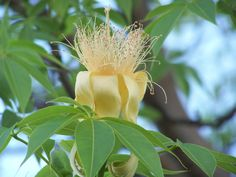 Boab Flower Broome Western Australia