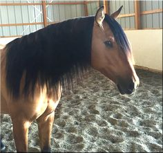 Andalusian and Lusitano geldings for sale in the USA, Canada and Spain. All…