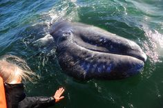 In Baja California's Laguna San Ignacio,a  gray whale-human encounter. Photo ©David Effron