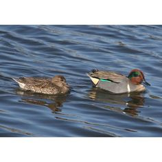 Male and Female Green-winged Teals Teal Duck, Life List, Hunting, Wildlife, Wings, Bird, Pets, Green, Ducks