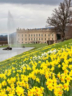 Chatsworth House with daffodils.