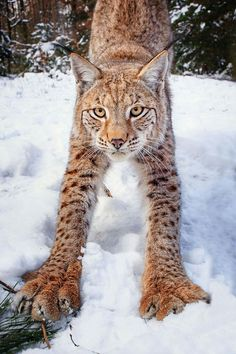 Stretching bobcat