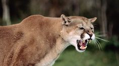 Gallery For > Mountain Lion Attack