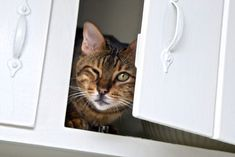 Dangerous Places for Cats Mouse Deterrent, Introducing A New Cat, Snowshoe Cat, Animal Rescue League, Curiosity Killed The Cat, Cat Health, Litter Box, Rodents, My Animal