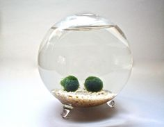 Marimo Moss Ball Couple In Handblown Glass Globe - Underwater Moss Terrarium…