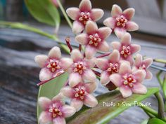 Hoya flavida Beautiful Flowers, House Plants, Hoya Plants, Succulent Gardening, Unusual Flowers, Wax Flowers, Orchid Flower, Hanging Plants, Planting Flowers