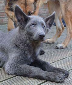 Beautiful powder blue German Shepherd! More