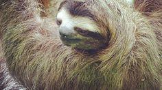 Three-toed #Sloth at the gardens of Melissa Panama Canal Hotel.
