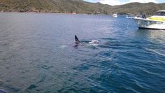 Killer whale off the bow of boat at Great Barrier Island  #New Zealand #Great Barrier Island