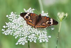 """Common Buckeye Butterfly  Junonia coeni on Queen Anne's Lace (Daucus carota) also called """"Wild Carrot,"""""""