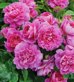 These full-petaled Princess Anne English Roses are a beautiful new variety for 2012.