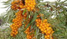 Jak na výrobu medu z rakytníku Home Canning, Herbalism, Vegetables, Plants, Food, Dyi, Diet, Syrup, Herbal Medicine