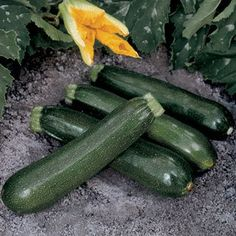 Squash Contender Hybrid in The Big Seed Book from Park Seed on shop.CatalogSpree.com, my personal digital mall.
