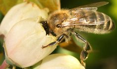 Quel est ce bourdonnement venant du Musée de l'agriculture et l'alimentation du Canada ? Découvrez le rôle essentiel des abeilles dans la pollinisation, la production du miel et autres produits dérivés. Observez le travail et les outils des apiculteurs, la ruche vivante, et  tentez de trouver la reine parmi les ouvrières et les faux-bourdons.
