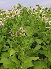 Nicotiana - Wikipedia, the free encyclopedia - Pipeweed was a variety of this plants