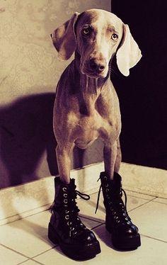 weimaraner boots