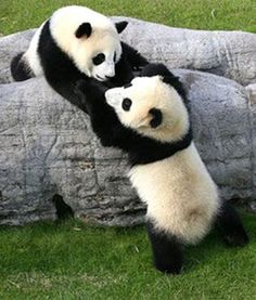 Panda twins Ai Hin and Mei Hin love playing together at the Chengdu Pambassador program. Here, they are pictured roughhousing with each other.