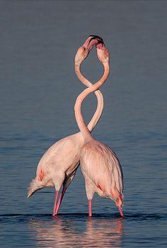 Entwined Flamingos | Photography by Vassilis Artikos Douglas Coupland, Wild Birds, Photography, Animals, Photograph, Animales, Animaux, Fotografie, Photoshoot