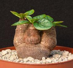 Euphorbia ecklonii                                                                                                                                                                                 Más
