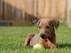 German Pinscher Puppy!... @Jeremy B