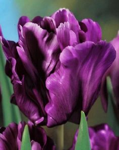 Tulip Victoria's Secret