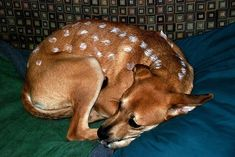 Some of the Funniest Pet Costumes - Bambi | Guff