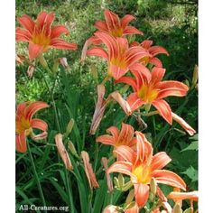 Orange Daylily: Zone 6, perennial, early to mid summer blooms, full or half sun, easy to grow, attracts hummingbirds and butterflies