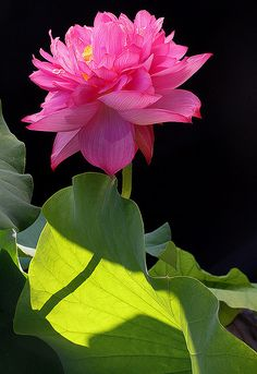 agoodthinghappened:    Lotus Flower - Pink - IMG_8947-1000 by Bahman Farzad on Flickr.  :)