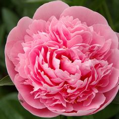 Cut Flowers, Colorful Flowers, Paper Flowers, Peony Root, Peonies Garden, Herbaceous Perennials, Flower Fashion, Beautiful Butterflies, Decoration
