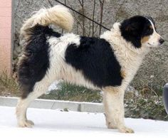 Tornjak Dog Breed Information - American Kennel Club