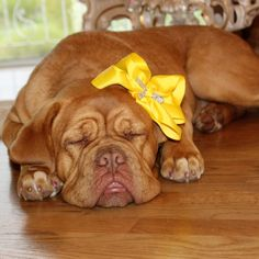 French Mastiff, Miss Delilah❤❤❤ Maggie Mae, Sadie, Best Dogs, Dogs And Puppies, Pitbulls, Cute Animals, French, Dogue De Bordeaux, Bordeaux
