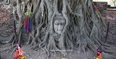 Het Boeddhabeeld geworteld onder de boom.