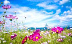 Purple cosmoses Flower HD desktop wallpaper, Cosmos wallpaper - Flowers no. Good Morning Beautiful Flowers, Beautiful Flowers Pictures, Flower Pictures, Amazing Flowers, Pretty Flowers, Hd Flowers, Cosmos Flowers, Flowers Nature, Colorful Flowers