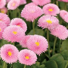 Polar™ Pink English Daisy Bellis perennis by margie Types Of Flowers, Pretty In Pink, Pink Flowers, Beautiful Flowers, Pink Perennials, Bellis Perennis, Daisy, My Secret Garden, Dream Garden
