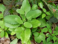 feuilles lougarou -
