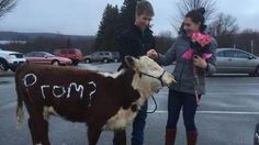Boy Uses Cow to Ask Girl to the Prom - Neatorama