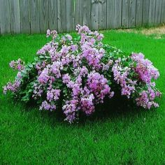 The Orchid Cascade Dwarf Crape Myrtle (Lagerstroemia indica 'Orchid… Lawn And Landscape, Flower Landscape, Landscaping Plants, Front Yard Landscaping, Landscaping Ideas, Trees And Shrubs, Trees To Plant, Crepe Myrtle Bush, Lagerstroemia